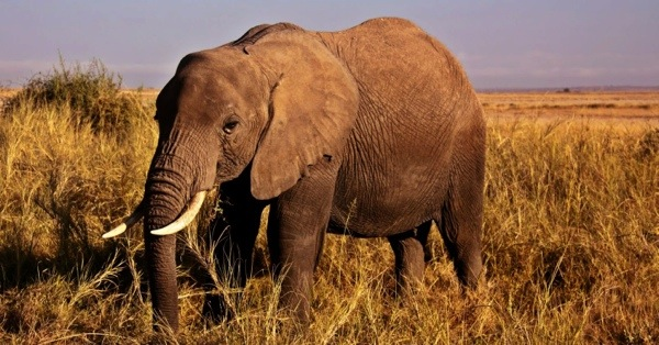 These majestic bull elephants are actually overpopulated throughout Kruger Park