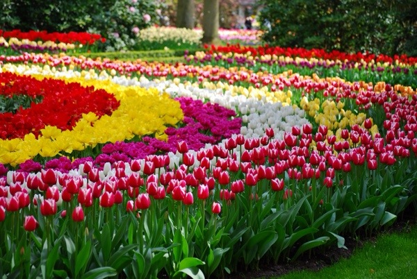 See the world's largest display of tulips in the Keukenhof Gardens