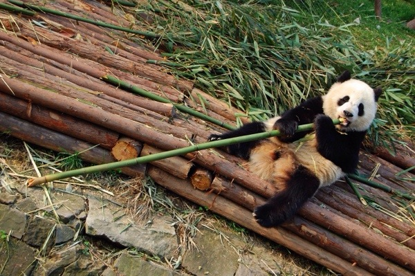 Volunteer to help giant pandas at the Louguantai Wild Animal Breeding and Protection Center