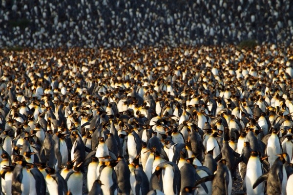 March of a Hundred Thousand Penguins