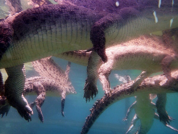 Get up close to huge salt water crocodiles in Darwin