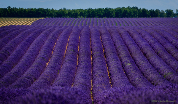 Lavender Fields in Province France in June