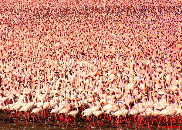 A Billion Flamingos in Lake Bogoria, Kenya