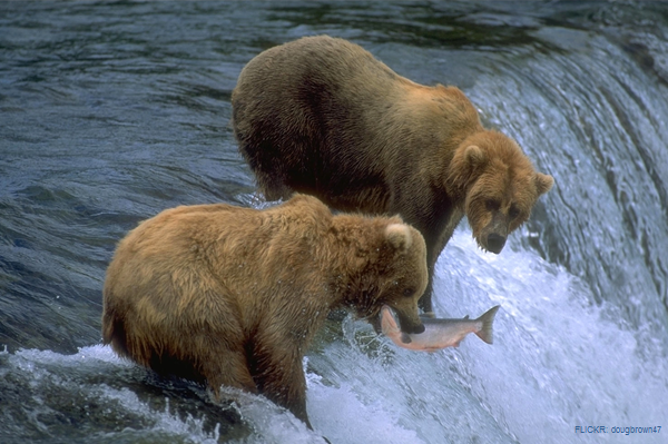 Alaska Grizzly Bears and King Salmon in McNeil River Refuge