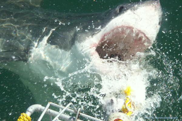 Cage Dive with Great White Sharks in Gansbaai, South Africa
