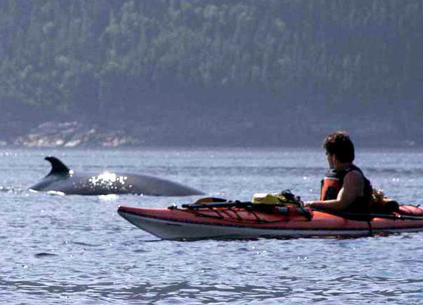 Kayak With Orcas Saguenay Fjord